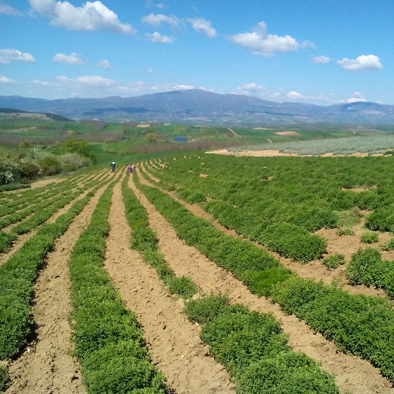 dioni plantations